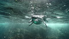 Galapagos Penguin swims towards camera, turns and defecates