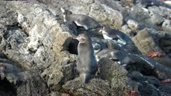 Galapagos Penguins resting on rocky shoreline