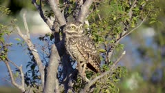 Wild owl on tree branch - Athene cunicularia