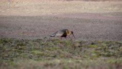 Buff-Necked Ibis, Curicaca, Theristicus Caudatus