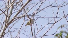 Canário-da-Terra - Female Sicalis flaveola