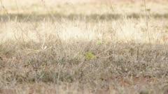 Canário-da-Terra - Sicalis flaveola