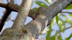 Black and yellow striped caterpillar walking on a branch