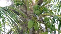 Close up of coconut swaying on a palm tree