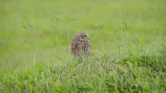 Owl in the grass - Athene cunicularia