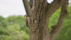 Woodpecker on the trunk