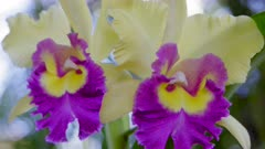 Orchids with yellow and violet flowers in the wind