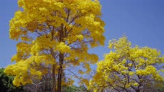 Golden Trumpet Tree and a blue sky