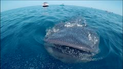 Aerial Over Whale Shark Feeding Fish Eggs