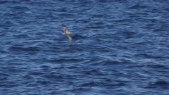shearwater hunting