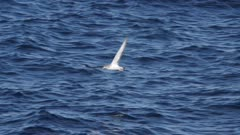 shearwater hunting and walking