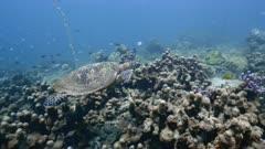 Hawksbill sea turtle (Eretmochelys imbricata) swimming over coral reef