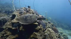 Hawksbill sea turtle (Eretmochelys imbricata) swimming over coral reef