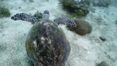 Hawksbill sea turtle (Eretmochelys imbricata) swimming over sandy seabed with corals