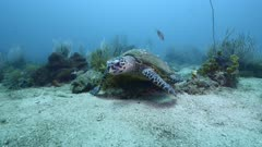 Hawksbill sea turtle (Eretmochelys imbricata) swimming over sandy seabed with corals toward the camera