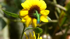 Western Emerald Hummingbird feeding on a Sunflower