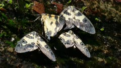 Pantherodes Moths filtering water from moss on a fallen tree in a stream