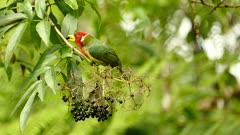 Red-Headed Barbet feeding on an Elderberry tree