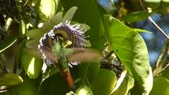 Rufous-Tailed Hummingbird pollinating a Sweet Granadilla flower