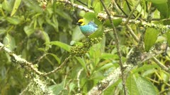 Saffron-crowned Tanger feeding on berries
