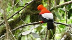 Active Andean Cock Of The Rock hopping along a branch