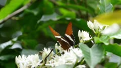 Adelpha Butterfly and Bee pollinating flowers on a Coffee tree