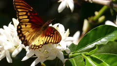 Adelpha Butterfly pollinating flowers on a Coffee tree