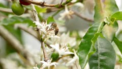 Honey Bee pollinating flowers on a Coffee tree