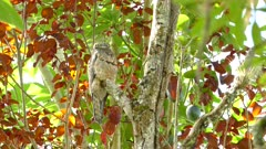 Common Potoo resting on a branch in the daytime