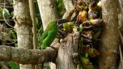 Crimson-rumped Toucanet feeding on bananas