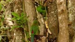 Pair of Crimson-Rumped Toucanet feeding on Bananas