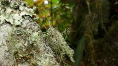 Lichen Katydid crawling over lichen growing on a tree trunk