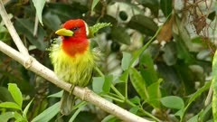 Red Headed Barbet perched on a branch