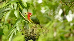 Red-headed Barbet feeding on Elderberries