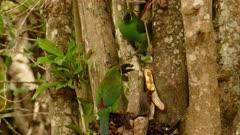 Par of Crimson-rumped Toucanets feeding on Bananas