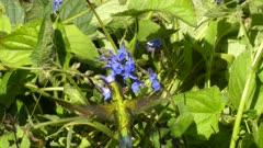 Western Emerald Hummingbird feeding on blue flowers