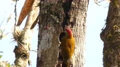 Golden-olive Woodpecker building a nest