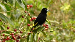 Lemon-rumped Tanager perched on the branches of a Coffee plant takes flight