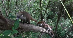 Wildlife Coati family In jungle trees climbing Mexico. The Coati or Coatimundi is wildlife animal, member of the raccoon family. Lives in jungles of Mexico and south central America. Ring tail and bandit colored masks on face. They climb trees, dig for insects and hold their stripped tail straight up. Live in large family herd or groups. Dark coarse fur, sharp teeth and claws for digging and climbing. DCI 4K video footage. Despain Rekindle Photo. 044