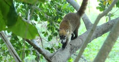 Wildlife Mexico Coati animal in jungle tree. The Coati or Coatimundi is wildlife animal, member of the raccoon family. Lives in jungles of Mexico and south central America. Ring tail and bandit colored masks on face. They climb trees, dig for insects and hold their stripped tail straight up. Live in large family herd or groups. Dark coarse fur, sharp teeth and claws for digging and climbing. DCI 4K video footage. Despain Rekindle Photo. 778