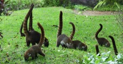 Mexico wildlife coati feeding grass park near jungle. The Coati or Coatimundi is wildlife animal, member of the raccoon family. Lives in jungles of Mexico and south central America. Ring tail and bandit colored masks on face. They climb trees, dig for insects and hold their stripped tail straight up. Live in large family herd or groups. Dark coarse fur, sharp teeth and claws for digging and climbing. DCI 4K video footage. Despain Rekindle Photo. 785