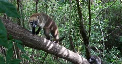 Mexico Coati Mundi wildlife jungle tree. The Coati or Coatimundi is wildlife animal, member of the raccoon family. Lives in jungles of Mexico and south central America. Ring tail and bandit colored masks on face. They climb trees, dig for insects and hold their stripped tail straight up. Live in large family herd or groups. Dark coarse fur, sharp teeth and claws for digging and climbing. DCI 4K video footage. Despain Rekindle Photo. 045