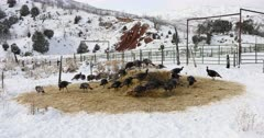 Wild Turkey cold winter mountain valley snow DCI 4K. Wild turkey walking, flying and scratching in ground and snow in winter. Nature and wildlife. Flock of turkeys feeding on grass and hay during cold snowy winter day in central Utah. Despain of Rekindle Photo. 959