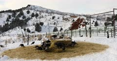Wild turkey flock winter mountain valley DCI. Wild turkey walking, flying and scratching in ground and snow in winter. Nature and wildlife. Flock of turkeys feeding on grass and hay during cold snowy winter day in central Utah. Despain of Rekindle Photo. 963