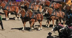Beautiful Draft six team to wagons competition. Gentle Giant draft horse pull heavy antique wagons. Highly trained and decorated to demonstrate traditional farm and industrial use. Heavy, tall and strong. Working farm animal used to pulling heavy loads. Competition, show, demonstration trials. Can weigh up to 3,000 pounds. DCI 4K video footage. Despain Rekindle Photo. 602