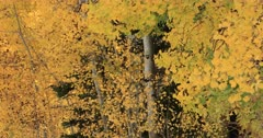 Beautiful yellow autumn leaves mountain Aspen. Beautiful season Autumn fall colors in Aspen, Oak and Pine forest. Wasatch Mountains in Manti La Sal Forest central Utah. Golden yellow, golden, red and orange  leaves. Exploring natural landscape before winter. Early winter snow seasonal weather. Nature and creations of Earth. 4K UHD HD video footage. Despain Rekindle Photo. 513