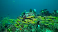 Yellowfin goatfish, Mulloidichthys vanicolensis on a coral reef in Philippines