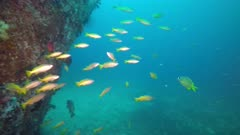 Yellowfin goatfish, Mulloidichthys vanicolensis on a wreck in Philippines