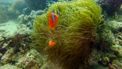 Cinnamon clownfish, Amphiprion melanomas in an anemone in the Philippines
