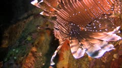 Pacific lionfish, pterois volitan in a Giant barrel sponge in Philippines